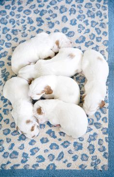 We just can't make heads or tails of this whole workday thing.  Clumber Spaniel