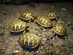 Hermann's tortoises are one of the most popular tortoises kept in Britain. The originate from the Mediteranean coasts, and are one of the three species which Hermann Tortoise, Tortoises, Turtles, Reptiles, Pet Stuff, Pets, Animals, Website, Garden