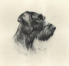 Graphic portrait German wirehaired pointer, artist Valery Siurha. Watercolour paper, coal, pencil. The portrait accentuates the gorgeous shape of the German Wirehaired pointer as a noble hunter's companion. The delicate pencil and coal technique together with watercolour create a realistic Pointer Puppies, Pointer Dog, Hunting Gifts, Hunting Dogs, Grouse Hunting, Portrait, German Wirehaired Pointer, Puppy Classes, German Shepherd Puppies