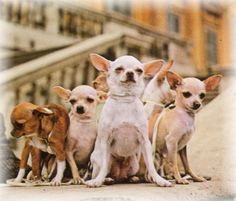 I plan on having a chihuahua herd like this someday!!!