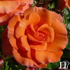 Heirloom Roses features floribunda roses, rose gardening and plants Purple Roses, Orange Flowers, Orange Color, Beautiful Rose Flowers, Beautiful Gardens, Floribunda Roses, Rose Nursery, Heirloom Roses, Growing Roses
