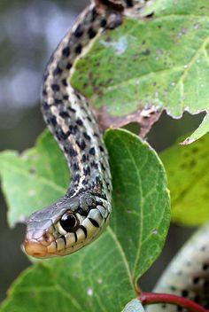 Garter Snake Southeast Missouri Snakes Spiders Frogs