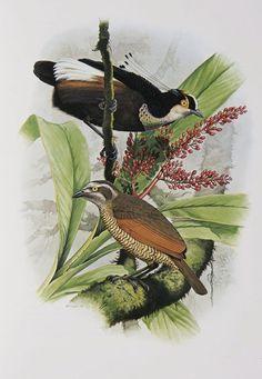 Carola's Parotia, Birds of Paradise Paradise Painting, Zoo Art, Prehistoric Creatures, Bird Illustration, Illustrations, Bird Drawings, Vintage Birds, Fauna, Bird Design