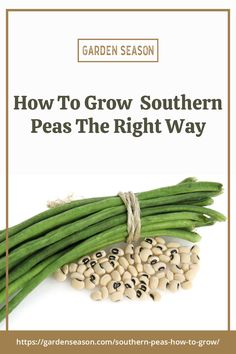 How To Grow Southern Peas The Right Way | Garden Season Guide | Southern peas, also known as field peas, crowder peas, blackeyed peas, and cowpeas, are annual crops that originated in Africa. These vining annuals thrive during hot weather in full sun and well-drained soil. Easy Vegetables To Grow, Bountiful Harvest, Deck Decorating, Decks And Porches, Edible Garden, Black Eyed Peas, Gardening Tips, Asparagus, Green Beans