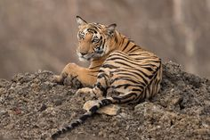 Pensive Tiger - Spent a long time with this sub-adult on a rather warm day in Kabini. She got out of the water and rested on this mound of mud.