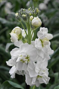 Matthiola incana -Promptitude in the Victorian language of flowers. Types Of Flowers, Purple Flowers, White Flowers, Amazing Flowers, Beautiful Roses, Wedding Flower Inspiration, Wedding Flowers, Stock Flower, Line Flower