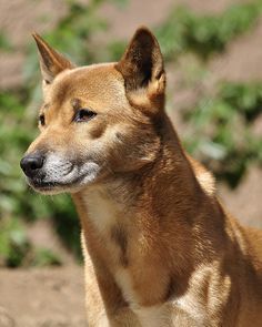 Rare New Guinea Singing Dog Cute Puppies, Cute Dogs, Greenland Dog, Dog Sounds, Dangerous Dogs, Dog Poses, Dog List, Purebred Dogs, Alaskan Malamute