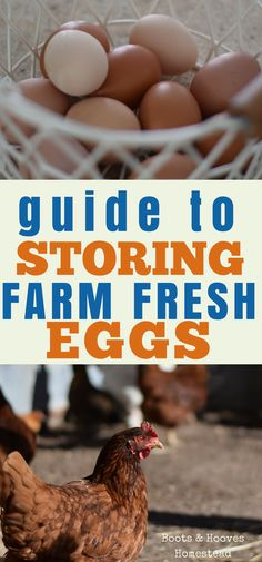 Do eggs need to be refrigerated? The short answer is sometimes yes and sometimes no. I'll explain why you do and don't need to refrigerate your eggs. Chicken Pen, Chicken Eggs, Chicken Ideas, Best Egg Laying Chickens, Raising Chickens, Backyard Chicken Coops, Chickens Backyard, Storing Eggs, Chicken Breeds
