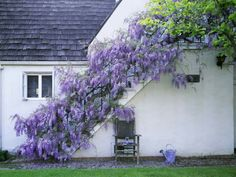 What a beautiful wisteria stairway