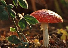 Fly Agaric Mushroom By Richard Bainbridge