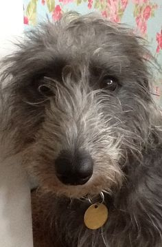 Tilly Lurcher Whippet x bedlington Whiplington