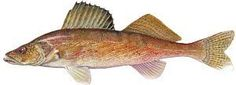 Fish Species of Lake Norman - What Kind of Fish Are in Lake Norman?: Walleye