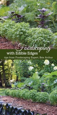 Foodscape Revolution: Edible edges are a smart solution in the landscape if you have limited space or want to make your vegetable garden part of the ornamental garden. Pop in edible plants that look decorative and provide harvestable crops along the edges of the garden for an easy and attractive foodscape.