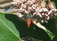 Squash Vine Borer Moth