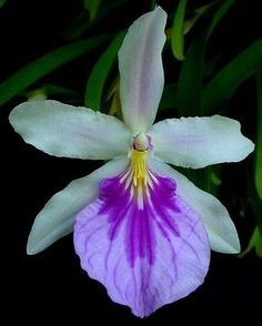 Orquídea... Miltonia spectabile