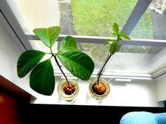 pflanzen ideen avocado am fensterbrett züchten