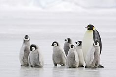 Researchers from the British Antarctic Survey recommend that emperor penguins should be listed as a specially protected species. Penguin Walk, Penguin Books, Penguin Life, Penguin Parade, Penguin Breeds, Penguin Facts, Baby Penguins, Prehistoric Creatures, Animales