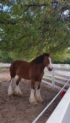 Tim is currently a Budweiser Clydesdale! He usually is at the front since he loves the spotlight! He's on vacation! Majestic Horse, Beautiful Horses, Animals Beautiful, Draft Horse Breeds, Draft Horses, Big Horses, Horses And Dogs, Grants Farm, Fairy Wallpaper
