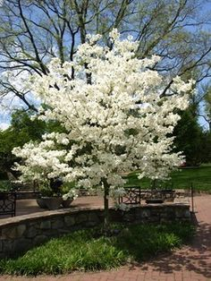 Cloud 9 Dogwood Cloud 9 Dogwood Tree For Sale Online Florida Landscaping, Landscaping Trees, Dogwood Trees, Flowering Trees, Trees For Front Yard, Tree Sale, Baumgarten, Growing Tree, Garden Trees