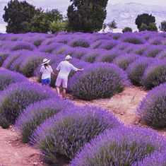 Lavender fields in Kuyucak- Isparta / Turkey
