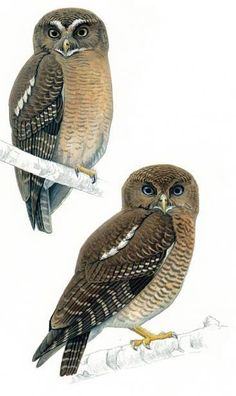 Two New Species of Owls Discovered in Philippines