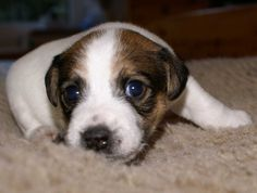Baby Shorty Jack Russell Terrier Puppies Pictures
