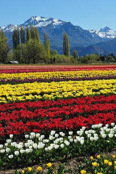 Campo de tulipanes, Trevelin, Chubut, Argentina
