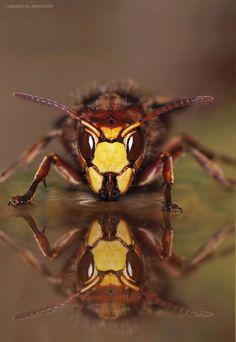 ~ Reflection ~ Hornet queen (Vespa crabro) By Jasna Matz on 500px