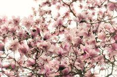 magnolia 7019