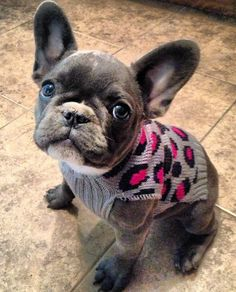 French Bulldogs were bred in the 1800s first in England then in France. - -…