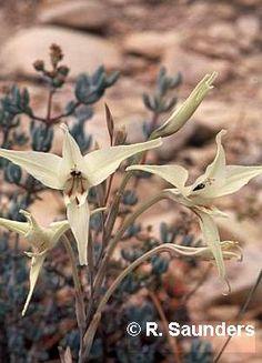 Gladiolus leptosiphon