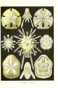 Kunstformen der Natur. - Biodiversity Heritage Library