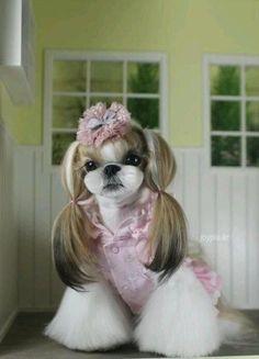 Girl Shih Tzu Haircuts | Shih Tzu with a Japanese clip