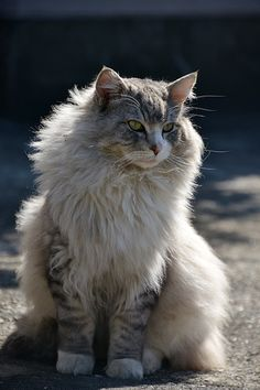 """""""It is with the approach of Winter that cats...wear their richest fur and assume an air of sumptuous and delightful opulence."""" --Pierre Loti"""