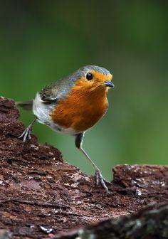 Robin....... - null