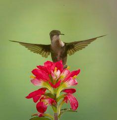 hummingbird my favorite animal!