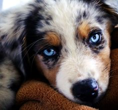 Australian Shepherd Puppy blue merle with blue eyes. Love My Dog, Cute Puppies, Cute Dogs, Dogs And Puppies, Doggies, Animals And Pets, Baby Animals, Cute Animals, Beautiful Dogs