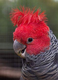 Australia's fauna emblems - Australian Geographic