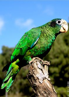 Hispaniolan Parrot....we saw one of these at a fruit stand in Bonao...sweet