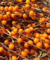 Discover how you can use Sea Buckthorn in Recipes for health benefits. Discover more today at Seabuckthorn Insider. Anti Aging Face Mask, Acne Serum, What Can I Do, Medicinal Herbs, Homemade Beauty, Health And Wellness, Herbalism, Natural Skin Care, Healing