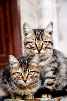 How to groom your American Wirehair Cat Click the picture to read