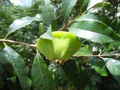Cambuci (Campomanesia phaea), Brazil's native fruit tree