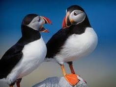 Puffins having a natter.