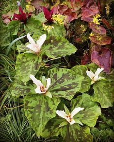 """58 Likes, 2 Comments - James & Joanna Fennell (@burtown_house) on Instagram: """"#trilliums on full display throughout the gardens, especially the #woodlandgarden surrounded on all…"""""""