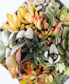 Shop for Succulents and Pottery online   Succulents and Sunshine