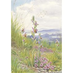 Margaret Tarrant - Wild Thyme and Bee Orchid