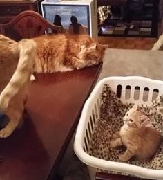 Funny Gif-Kitty Cat
