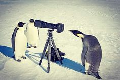 "roshesse: ""Sesión fotográfica con Cuasimodo.  #cute #penguins #photographysession"""