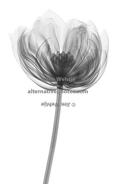X ray of a lotus flower