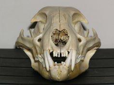 cat skull - Google Search
